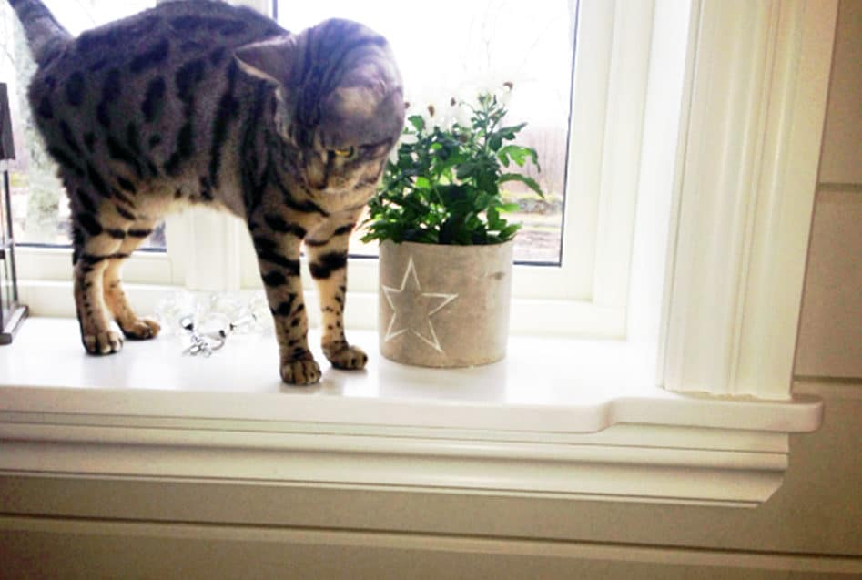 Katt i vinduskarm